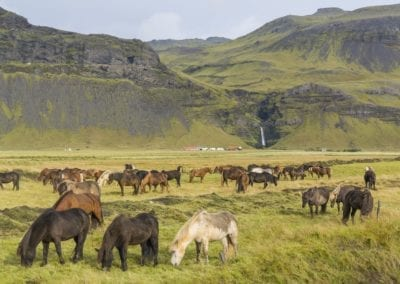 Icelandic horses grazing on the grass
